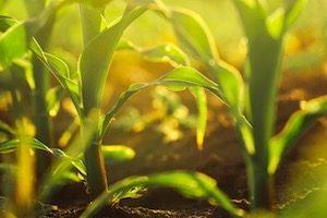 Corn crop close up
