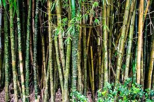 Green and brown bamboo