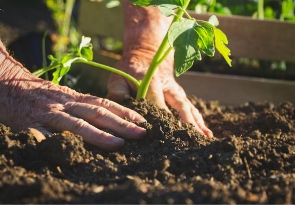 Person planting plant into dirt