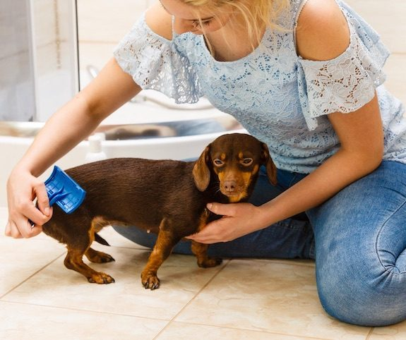 Woman brushing small dog to reduce indoor air pollution